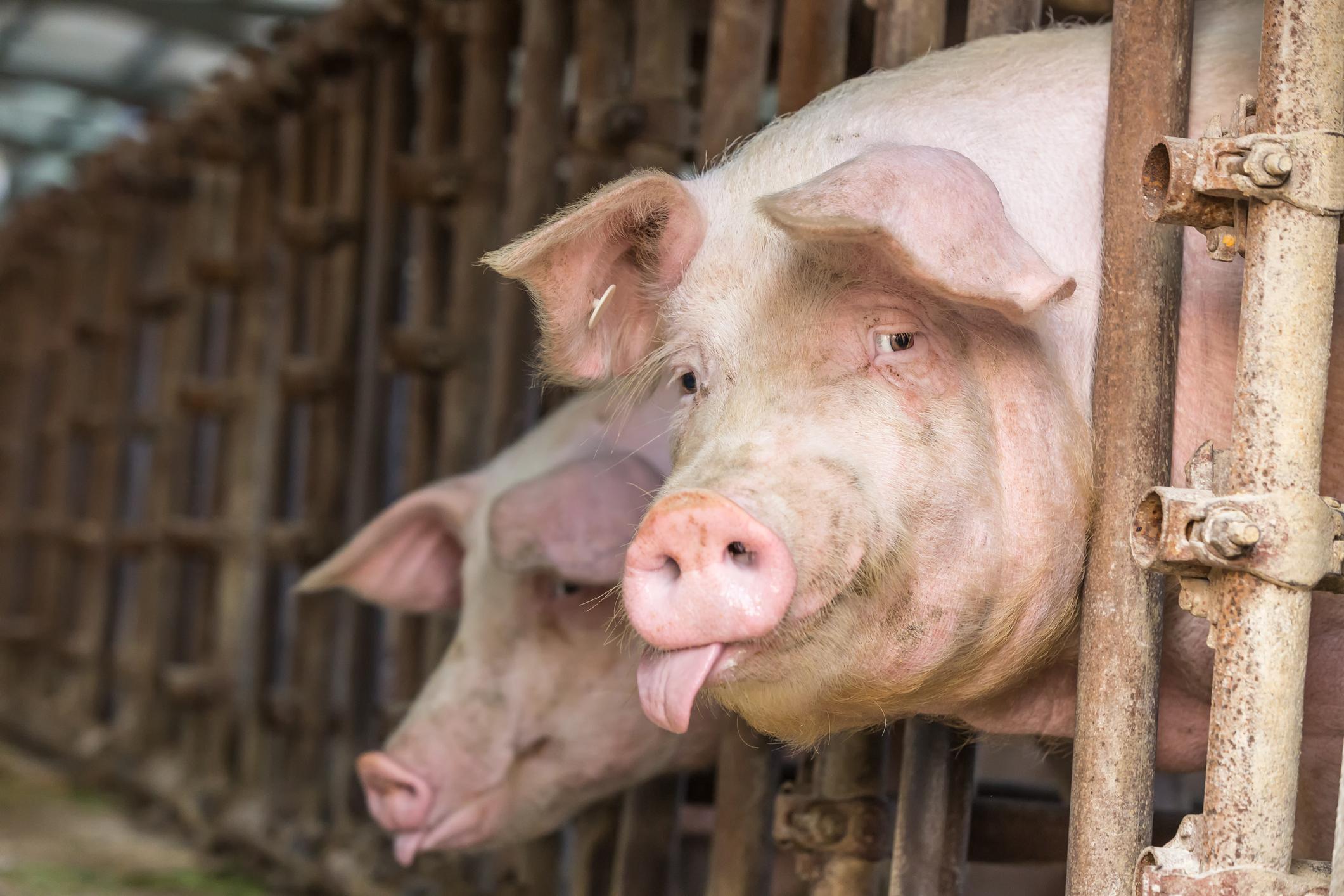 Китайский фермер вырастил свинью весом с белого медведя, потому что в  стране не хватает мяса - Inc. Russia